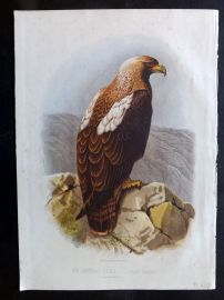 Jones & Cassell 1869 Antique Bird Print. Imperial Eagle